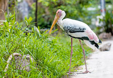 Painted stork at the zoo. Painted stork walk for food in its cage Stock Photos