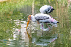 Painted stork at the zoo. Painted stork walk for food in a pond Royalty Free Stock Photography