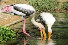 Painted storks Stock Photo