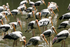 Painted Storks Stock Photos