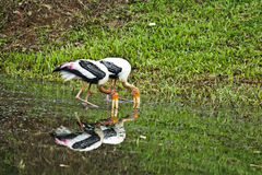 Painted Storks in action Royalty Free Stock Photo