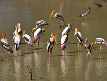 Painted storks on a lake Stock Photo