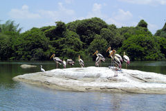 Painted Storks (Mycteria leucocephala). On a rock,India Royalty Free Stock Photo