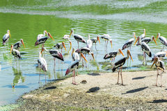 Painted storks in the pond Royalty Free Stock Photos