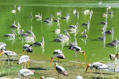 Painted storks in the pond Stock Images