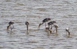 Painted Storks probing Water Royalty Free Stock Photography
