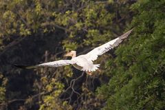 Couple of painted storks in nest stock photography