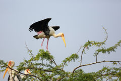 Painted Storks Royalty Free Stock Image