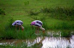 Painted Storks, Yala West National Park, Sri Lanka Royalty Free Stock Photos