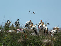Painted Storks with youngonce. On tree tops, India Royalty Free Stock Photo