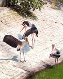 Painted storks Stock Photography