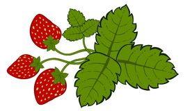 Painted strawberries with leaves vector Royalty Free Stock Images