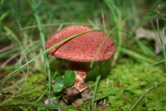 Painted Suillus Stock Photos