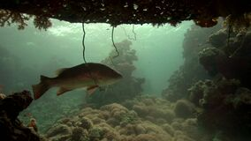 Painted sweetlip Diagramma picta with cuttted tail under the Precontinent n coral of Red sea Sudan. Shaab Rumi stock video footage