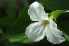 Painted Trillium Royalty Free Stock Image