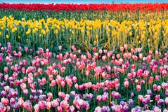 Painted Tulips. Enhanced mixed tulips in Skagit Valley, WA Royalty Free Stock Photos