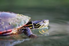 Free Painted Turtle Stock Photography - 106996742