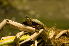 Painted turtle royalty free stock photos