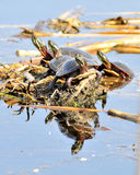 Painted Turtle. A group of four painted turtles perched on a log Royalty Free Stock Photos