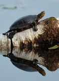 Painted Turtle. On log with reflection on Jensen Lake - Lebanon Hills Regional Park royalty free stock image
