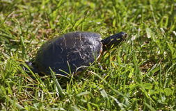 Painted Turtle. A turtle with neck stretched out walks through the grass Stock Photography