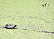 Free Painted Turtle Royalty Free Stock Image - 14871086