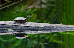 Painted Turtle. A painted turtle on a log in a pond. A mirrored reflection is seen in the water Royalty Free Stock Photo