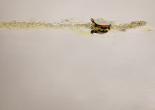 Painted Turtle Royalty Free Stock Photo