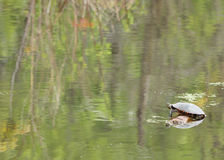 Painted Turtle. A group of four painted turtles perched on a log with copy space Royalty Free Stock Photos