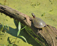 Painted Turtle. A painted turtle perched on a log Stock Photos