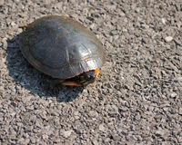 Painted Turtle. A painted turtle sitting on the road side Royalty Free Stock Photo