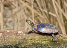 Painted Turtle. A painted turtle perched on a log in a marsh Stock Images