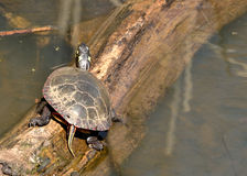 Painted Turtle. A painted turtle perched on a log in a marsh Royalty Free Stock Photography
