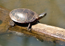 Painted Turtle. A painted turtle perched on a log in a marsh stock photos