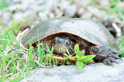 Painted Turtle. A painted turtle closeup head shot on land Royalty Free Stock Photography