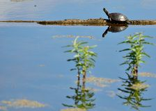 Painted Turtle. A painted turtle perched on a log in a marsh Stock Photo