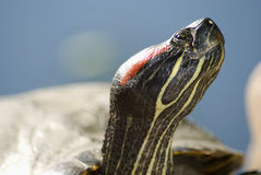Painted-Turtle Stock Image