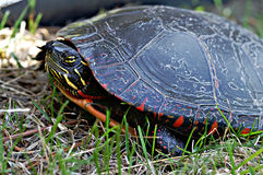 Painted Turtle. A Midland Painted Turtle basks in the sun during its migration from pond to pond in rural Ontario Stock Image