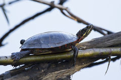Free Painted Turtle Stock Photography - 60463522