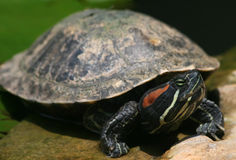 Free Painted Turtle Stock Photos - 8515353