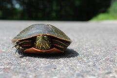 Painted Turtle on Asphalt Stock Images