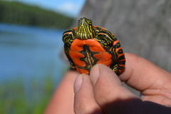 Painted turtle. A baby painted turtle Stock Photos