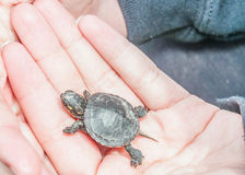 Painted Turtle. A baby Painted Turtle being held in a hand Royalty Free Stock Images