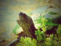 Painted Turtle on the Bank of a Local Fishing Pond stock photography