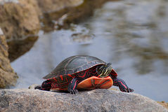 Painted turtle Stock Images