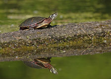 Painted Turtle Basking on a Log stock photography
