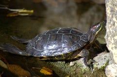 Painted turtle basks on rocks Stock Image