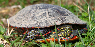 Painted Turtle (Chrysemys picta). Coming out in spring in Illinois Stock Photography