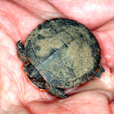 Painted Turtle (Chrysemys picta). Baby Painted Turtle (Chrysemys picta) found in the midwest USA Stock Photography