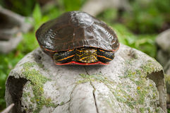 Painted Turtle Chrysemys picta Atop Skull. Captive animal Royalty Free Stock Image
